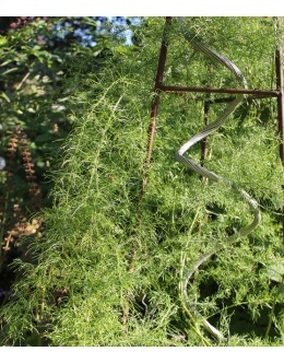 Asparagus verticilata - plezavi špargelj, asparagus, rdeči plodovi