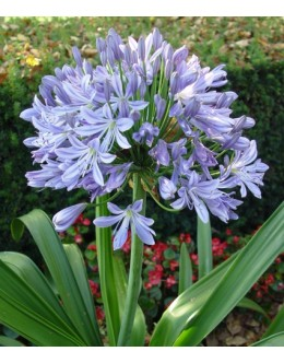 Agapanthus - na mraz odporna afriška lilija