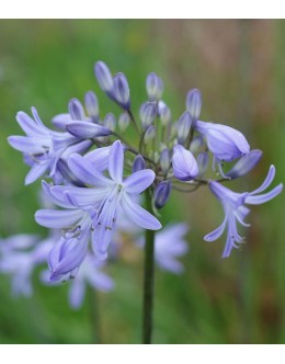 Agapanthus praecox 'Headbourne Blue' - na mraz odporna afriška lilija