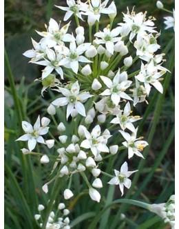 Allium ramosum (odorum) – kazahstanski drobnjak