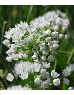Allium neapolitanum – neapeljski česen