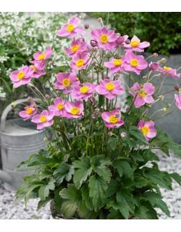 Anemone japonica 'Fantasy Cinderella' - nizka roza japonska vetrnica, anemona