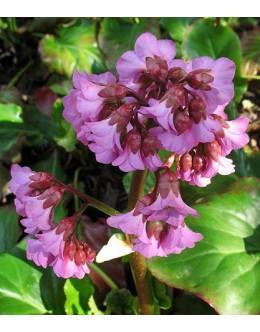 Bergenia cordifolia - bergenija