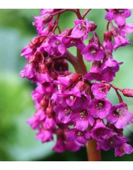 Bergenia cordifolia 'Purpurea' - rdeče cvetoča bergenija