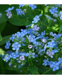 Brunnera macrophylla - kavkaška spominčica
