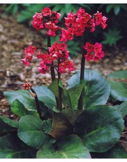 Bergenia cordifolia 'Winterglut' - pozimi rdeča bergenija