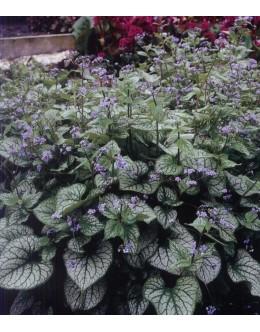 Brunnera macrophylla 'Jack Frost' - pisanolistna kavkaška spominčica