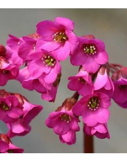 Bergenia cordifolia 'Rotblum' - bergenija