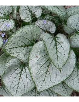 Brunnera macrophylla 'Looking Glass' - sivolistna kavkaška spominčica