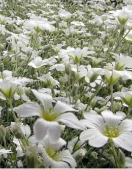 Cerastium tomentosum - smiljka