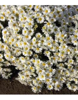 Chrysanthemum hybridum (Dendranthema) - bela nizka marjetka