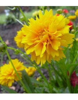 Coreopsis grandiflora 'Sunray' - lepe očke