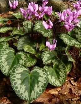 Cyclamen europaeum (C.purpurascens) - navadna ciklama