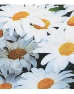 Chrysanthemum maximum (leucanthemum)- ivanjščica