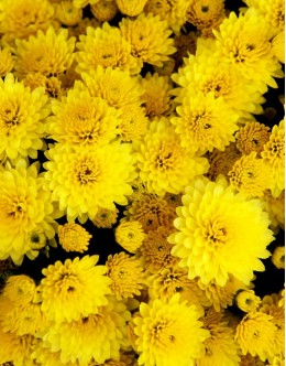 Chrysanthemum hybridum (Dendranthema) - poletna rumena polna krizantema