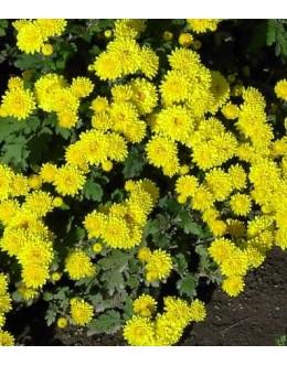 Chrysanthemum hybridum (Dendranthema) - pozna rumena polna krizantema