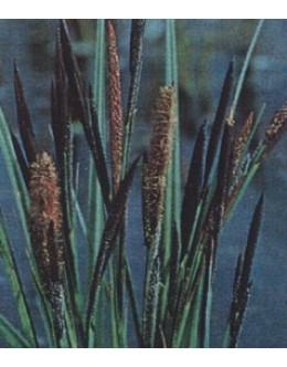 Carex nigra - črni šaš