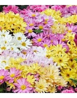 Chrysanthemum hybridum (Dendranthema) - razne sorte krizantem
