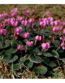 Cyclamen coum - pomladna ciklama, razne