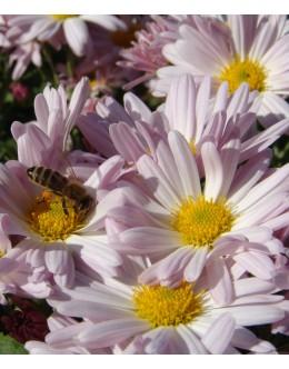 Chrysanthemum hybridum (Dendranthema) - roza marjetka krizantema