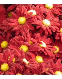 Chrysanthemum hybridum (Dendranthema) - velikocvetna rdeča marjetka krizantema