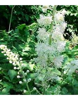 Cimicifuga (Actaea) racemosa- cimicifuga, svetilka