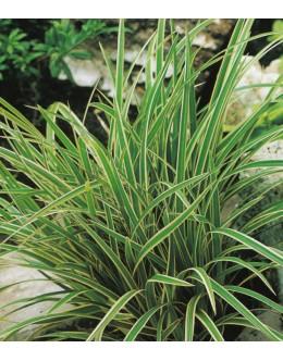 Carex morrowii 'Ice Dance' - šaš, pisano listje