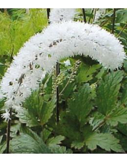 Cimicifuga (Actaea) ramosa (A.simplex) 'White Pearl' – svetilka