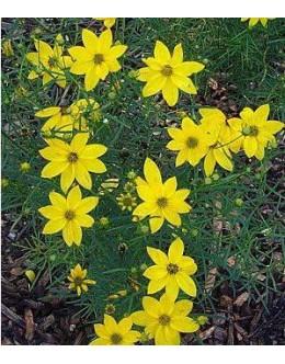 Coreopsis verticilata 'Zagreb' - lepe očke, enostaven cvet, dolgo cveti