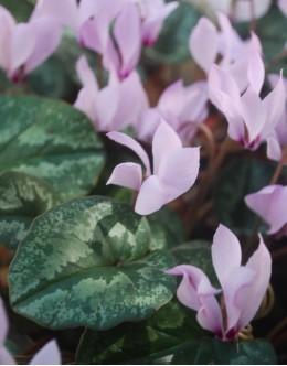 Cyclamen cilicium 'Rosea' - rožnata ciklama