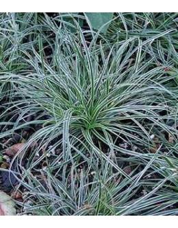 Carex conica 'Snowline' - pisanolistni šaš