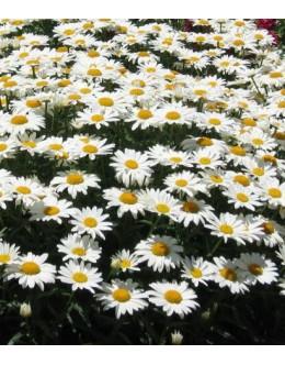Chrysanthemum maximum (leucanthemum) 'Starburst' - ivanščica