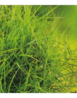 Carex muskingumensis 'Little Midge' - ozkolistni šaš