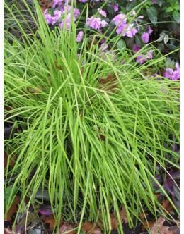 Carex elata – rumenolistni šaš , ne mara suše
