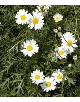 Tanacetum cinerarifolium (Chysanthemum, Pyretrum) – dalmatinski bolhač