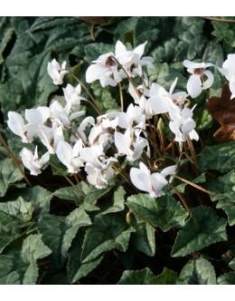 Cyclamen hederifolium (C.neapolitanum) 'White Pearls' - bršljanasta ciklama