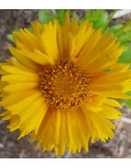Coreopsis grandiflora 'Santa Fe' - lepe očke, velik poln cvet za rez