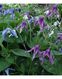 Clematis integrifolia 'Mongolian Bells ' - nizek srobot raznih barv