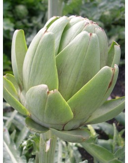 Cynara cardunculus f. scolymus 'Tavor' – velik cvet za rez, artičoka