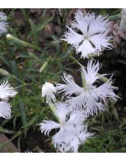 Dianthus alpinus 'Alba' - beli alpski nageljček