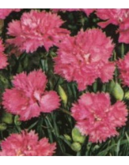 Dianthus hybridus 'Fruhlingswone' - velikocvetn vrstnati nageljček