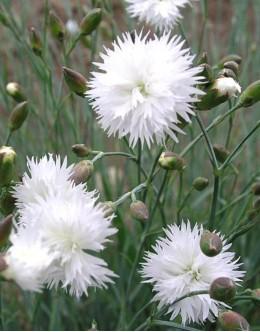 Dianthus plumarius 'Alba' - dišeči beli vrstnat nageljček