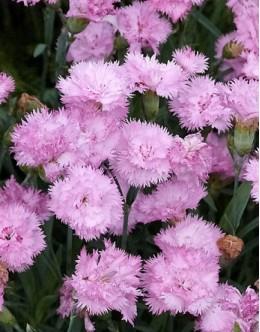 Dianthus plumarius 'Rosa' - dišeči roza vrstnat nageljček