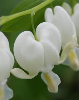 Dicentra spectabilis 'Alba' - beli srčki (velik lonec)