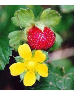 Duchesnea indica - indijski jagodnjak