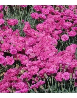 Dianthus hybridus 'Munot' - vijola-rdeč polnocvetni nageljček