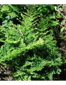 Dryopteris filix-mas 'Crispa Cristata'