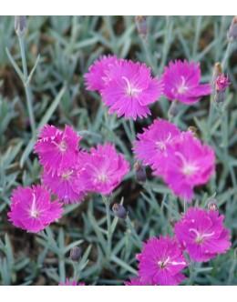Dianthus caesius 'Feuerhexe' - enojni nizki nageljček