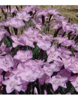 Dianthus caesius 'Nordstjernen'-enojni nizki nageljček