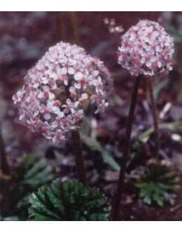 Darmera (Peltiphyllum) peltata - darmera